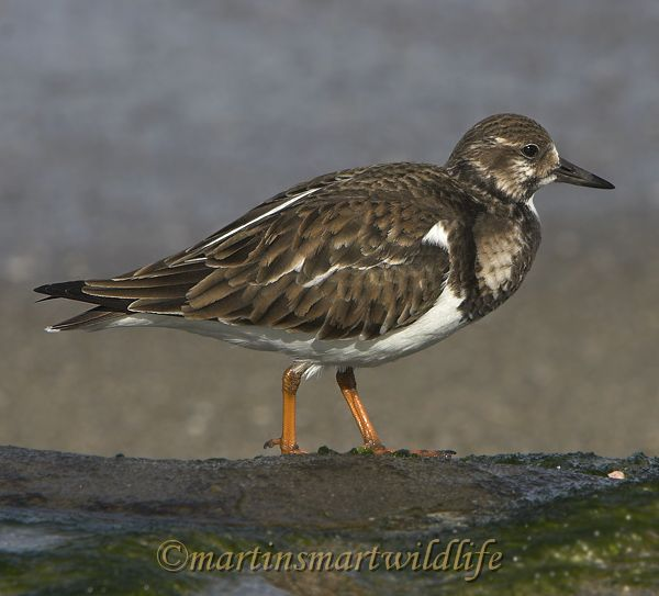 Ruddy_Turnstone_1949x.jpg