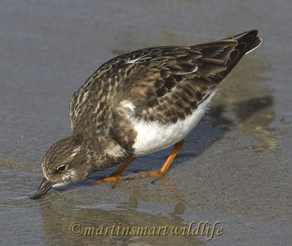 Ruddy_Turnstone_1964x.jpg