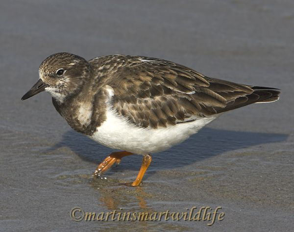 Ruddy_Turnstone_1966x.jpg