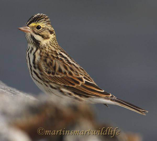 Savannah_Sparrow_0085.jpg