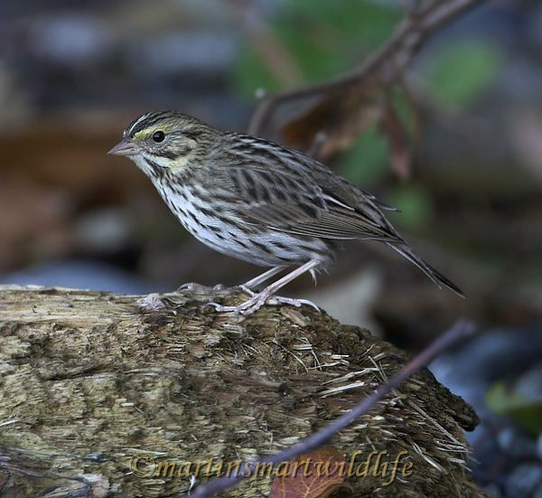 Savannah_Sparrow_0091x.jpg