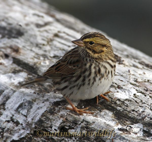 Savannah_Sparrow_0094.jpg