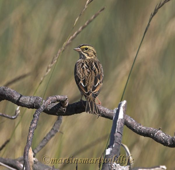 Savannah_Sparrow_9055x.jpg