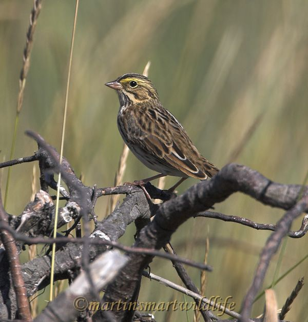 Savannah_Sparrow_9057x.jpg