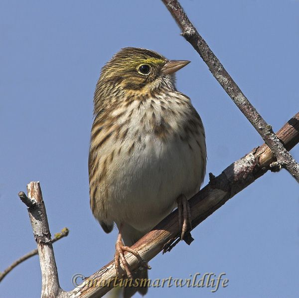 Savannah_Sparrow_9739bx.jpg