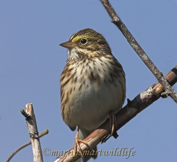 Savannah_Sparrow_9740ax.jpg