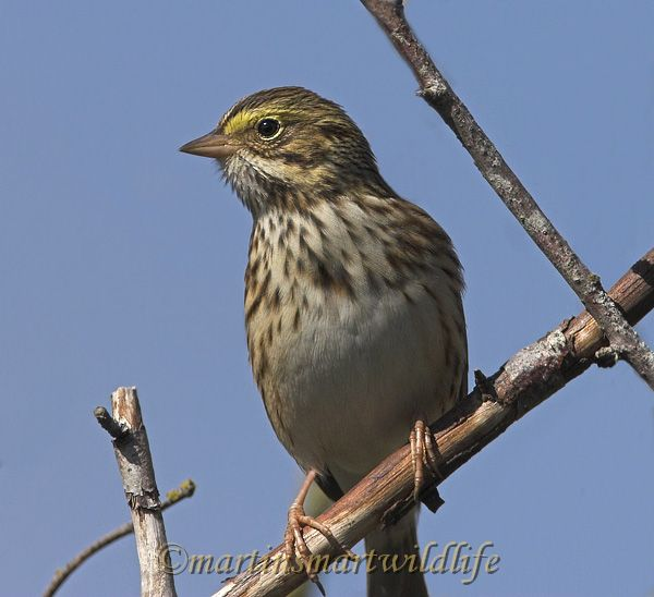Savannah_Sparrow_9742x.jpg