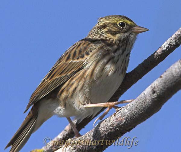 Savannah_Sparrow_9746x.jpg