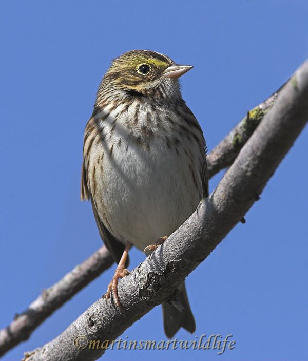 Savannah_Sparrow_9751x.jpg