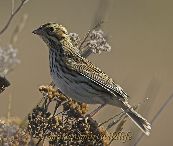 Savannah_Sparrow_9982x.jpg
