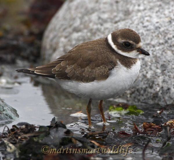 Semipalmated_Plover_0049.jpg
