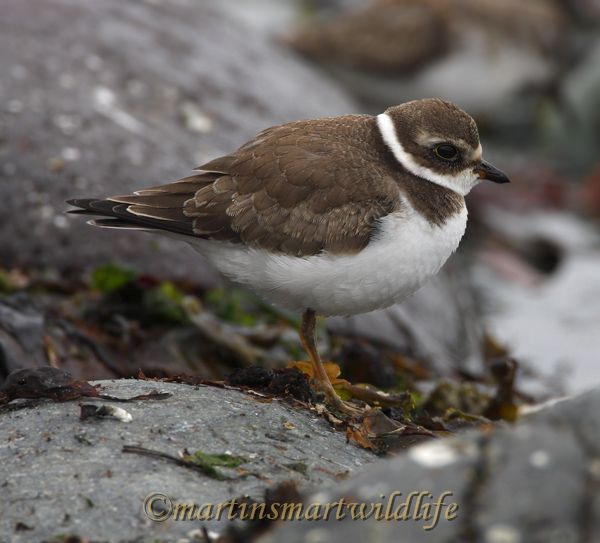 Semipalmated_Plover_0054.jpg
