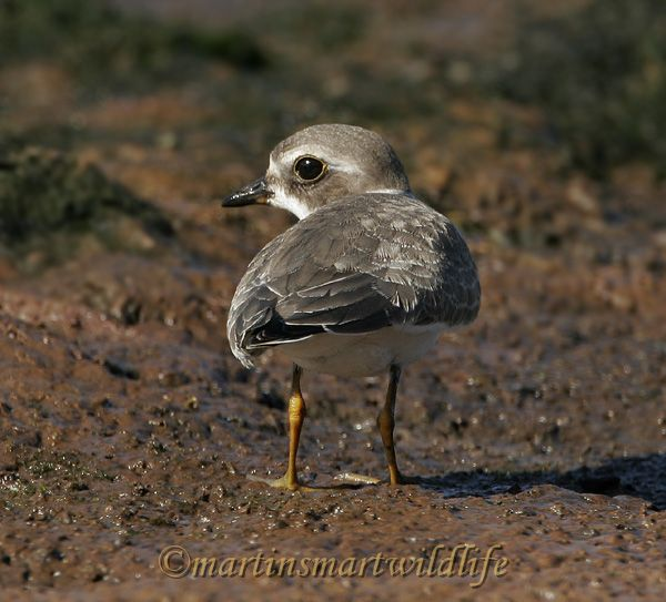 Semipalmated_Plover_9348.jpg