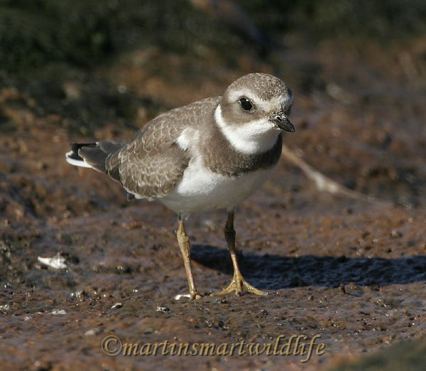 Semipalmated_Plover_9362.jpg