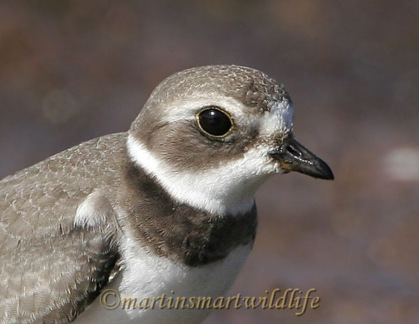 Semipalmated_Plover_9372.jpg