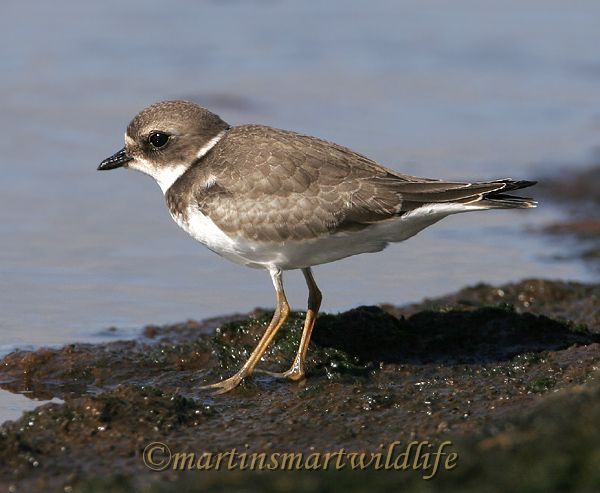 Semipalmated_Plover_9374.jpg