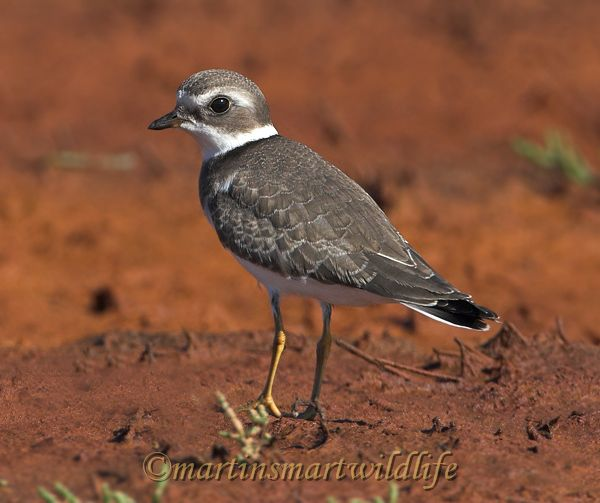 Semipalmated_Plover_9531x.jpg