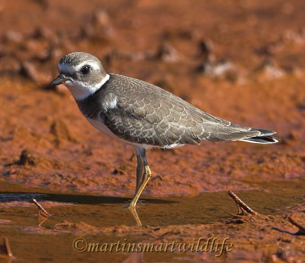Semipalmated_Plover_9555x.jpg