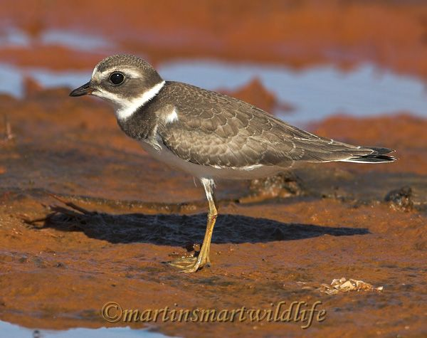 Semipalmated_Plover_9558x.jpg