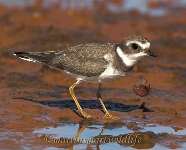 Semipalmated_Plover_9562x.jpg