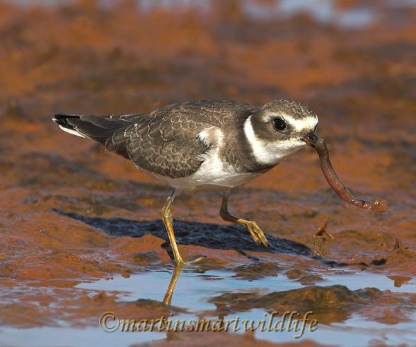 Semipalmated_Plover_9563x.jpg