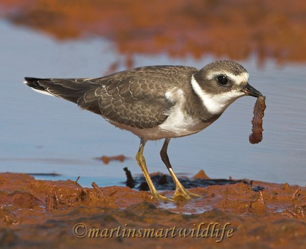 Semipalmated_Plover_9569x.jpg