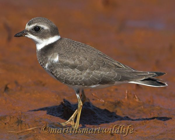 Semipalmated_Plover_9576x.jpg