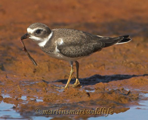 Semipalmated_Plover_9581x.jpg