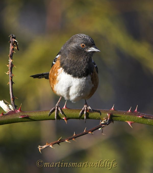 Spotted_Towhee_2447x.jpg