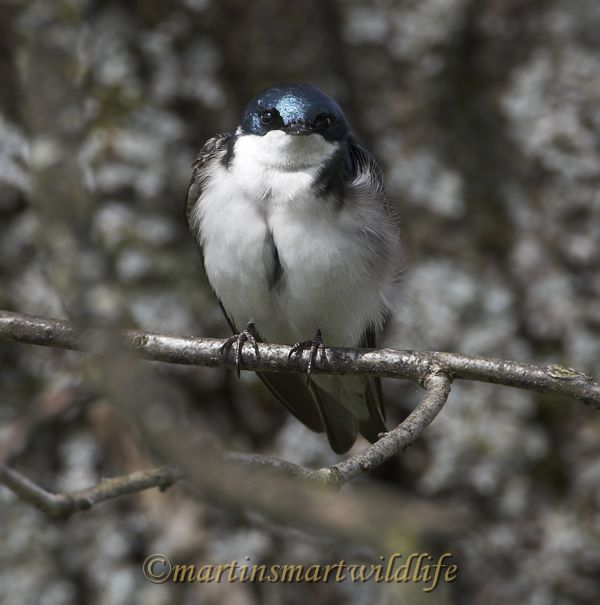 Tree_Swallow_4794x.jpg