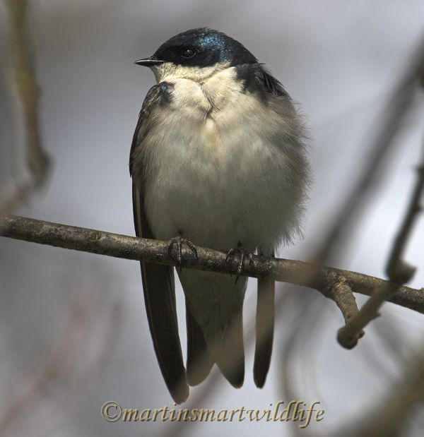Tree_Swallow_4806x.jpg