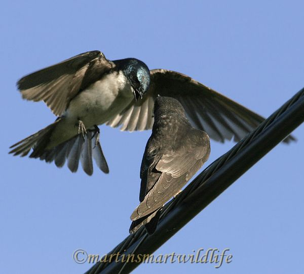 Tree_Swallow_6745x.jpg