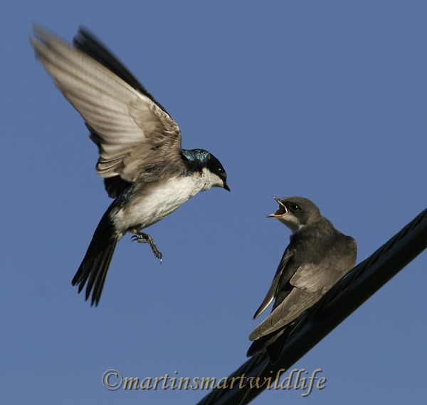 Tree_Swallow_6747x.jpg