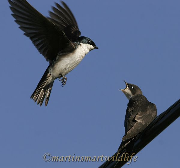 Tree_Swallow_6749x.jpg