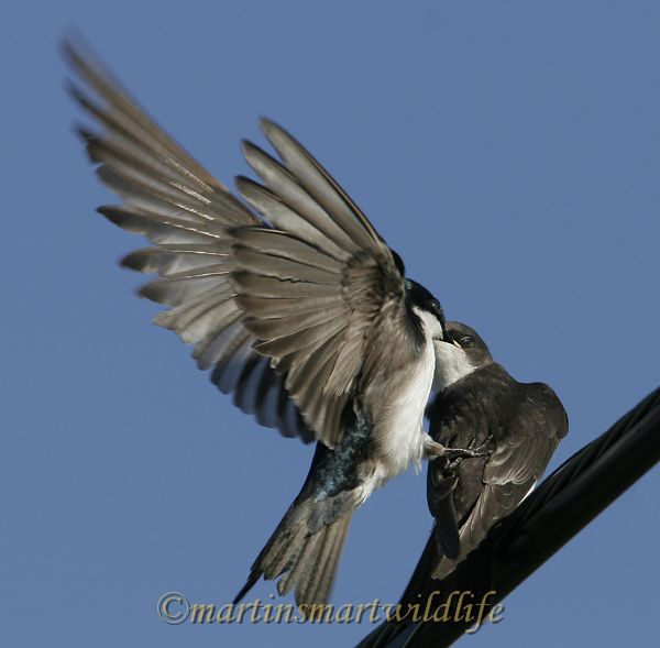 Tree_Swallow_6752x.jpg