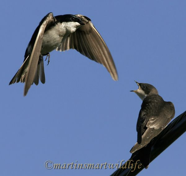 Tree_Swallow_6753x.jpg