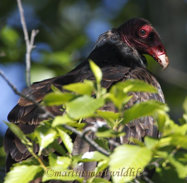 Turkey_Vulture_8739x.jpg