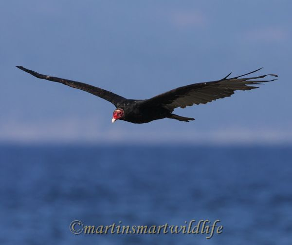 Turkey_Vulture_9602.jpg