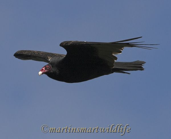 Turkey_Vulture_9917x.jpg