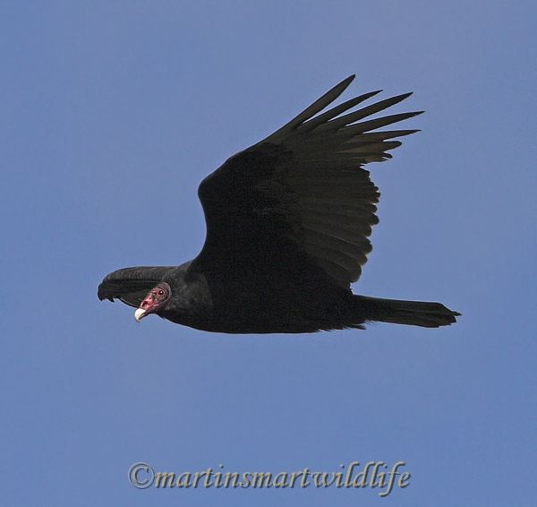 Turkey_Vulture_9962x.jpg
