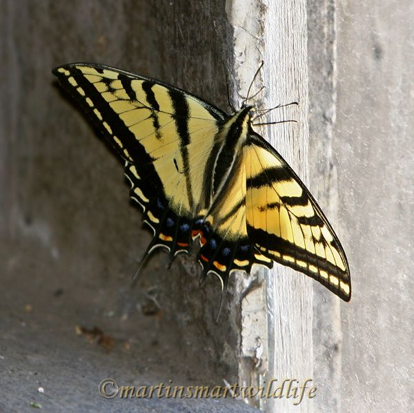 Two-tailed_Swallowtail_7598x.jpg