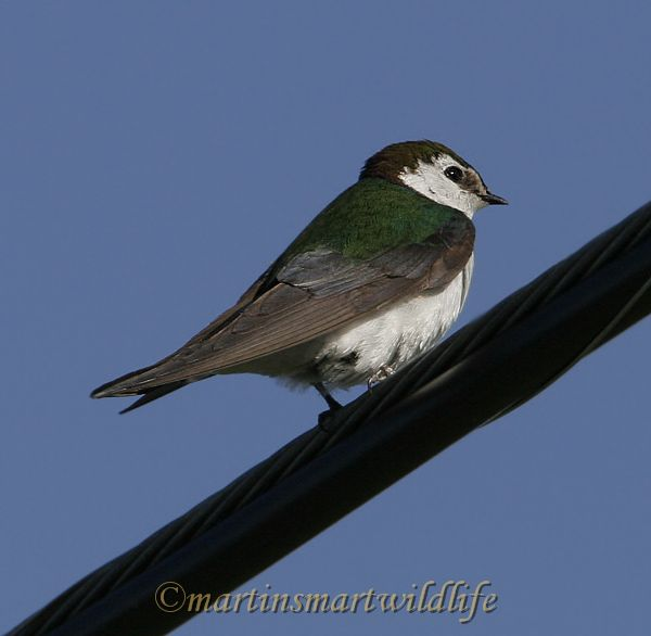 Violet-green_Swallow_6776x.jpg