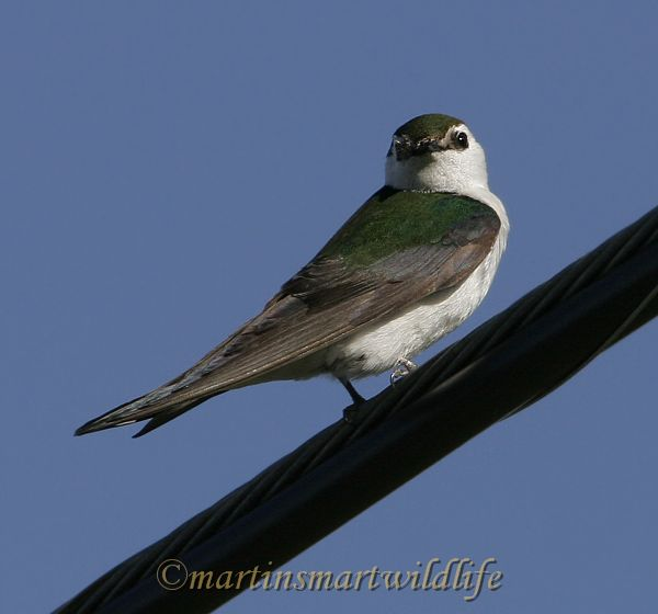 Violet-green_Swallow_6777x.jpg