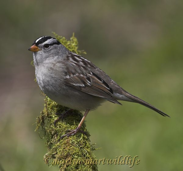 White-crowned_Sparrow_4219x.jpg
