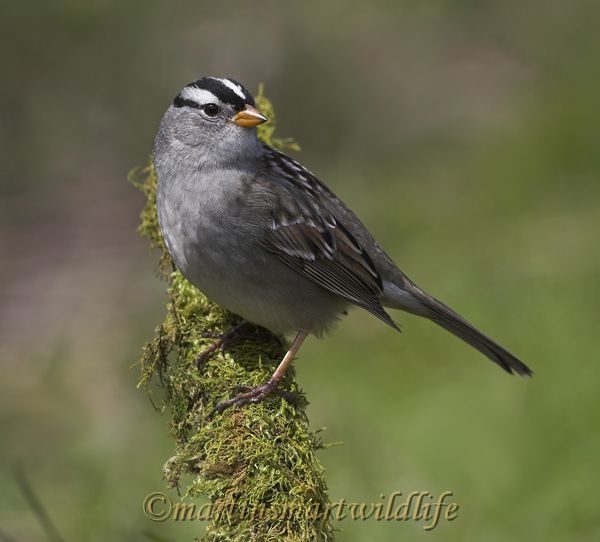 White-crowned_Sparrow_4221x.jpg