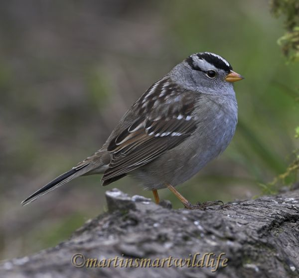 White-crowned_Sparrow_4264x.jpg