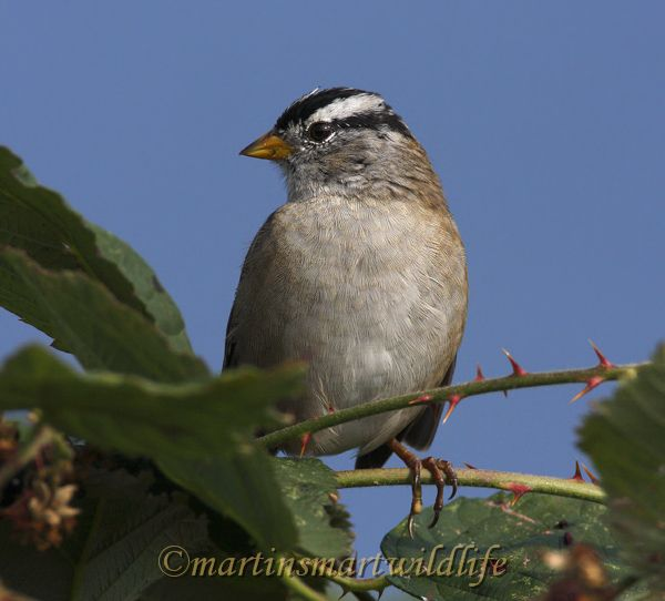 White-crownwed_Sparrow_9208.jpg