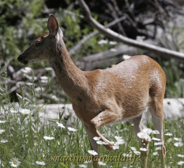 White-tailed_Deer_6846x.jpg