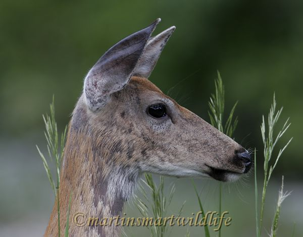 White-tailed_Deer_6863x.jpg