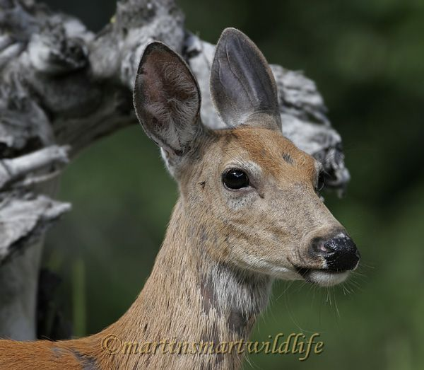 White-tailed_Deer_6866x.jpg